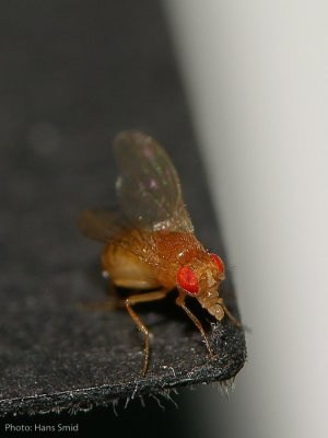 Drosophila melanogaster by Hans Smid www.bugsinthepicture.com